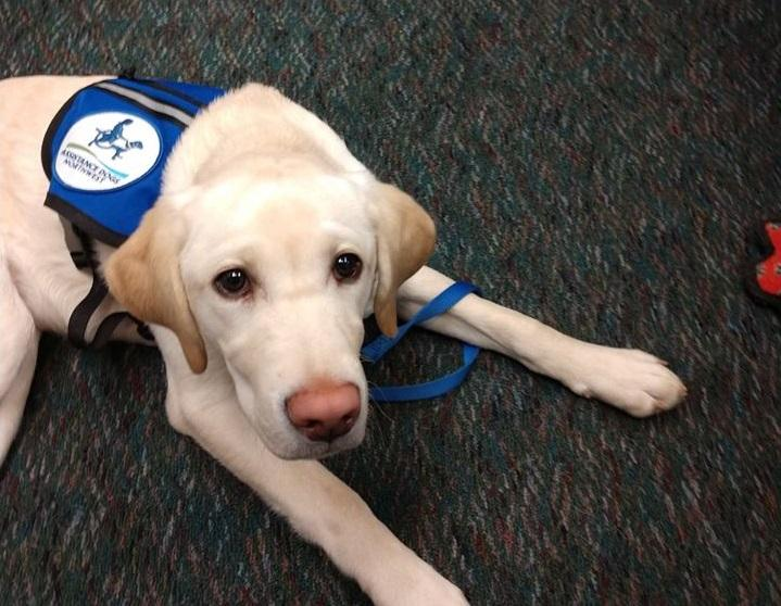 young yellow Labrador Retriever lying on carpet wearing a vest labeled Assistance Dogs Northwest